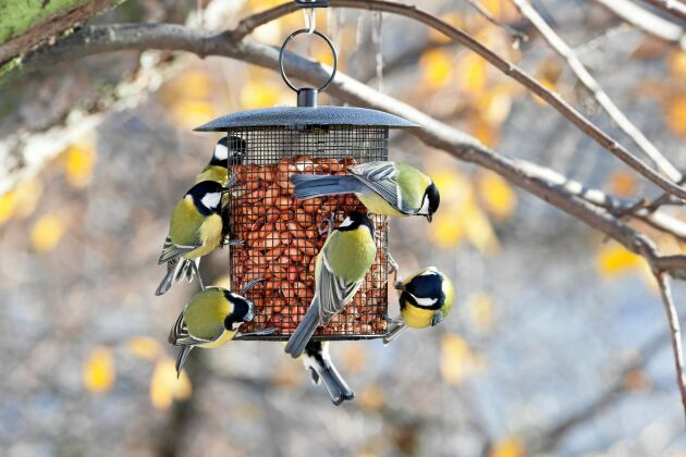 Rätt! Ett nätrör med jordnötter fungerar bra. Här kan fåglarna inte sitta i maten.