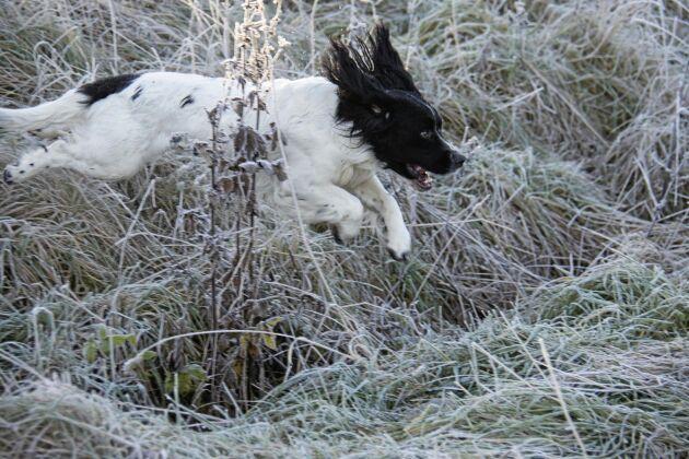 Spanielns jaktprov sker på praktisk jakt där hundens uppgift är att stöta upp vilt framför bössan.