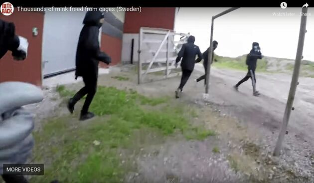 De maskerade aktivisterna dokumenterade sitt utsläpp av minkar på gården i Skaraborg och spred sedan bilderna på sig själva.