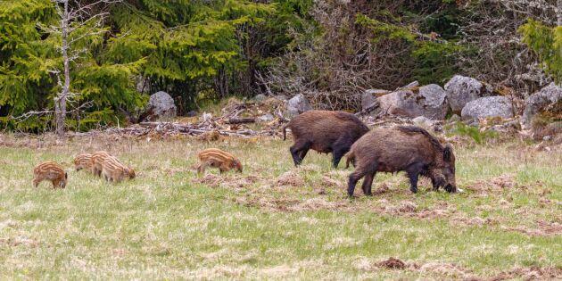 Frustration kring jaktförslag om vildsvin