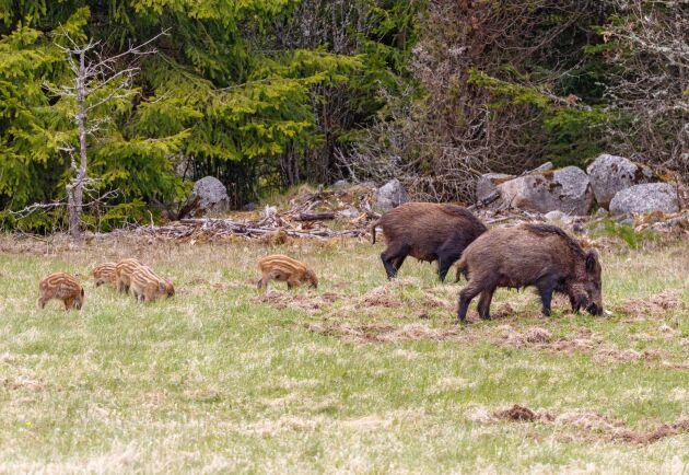 En vildsvinssugga med småkultingar är fredad året runt, men den definitionen skapar stor osäkerhet bland jägarna. Nu vill Naturvårdsverket att det ska bli tydligare genom att skriva att kultingarna ska vara randiga eller små och bruna.