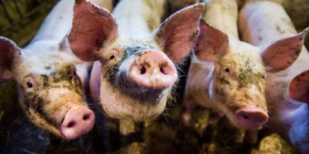 Svinpest upptäckt på lantbruk i Japan