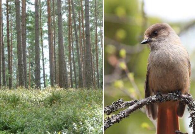 För skogsägare har artskyddsförordningen lett till en serie uppmärksammade rättsfall rörande bland annat lavskrikor.