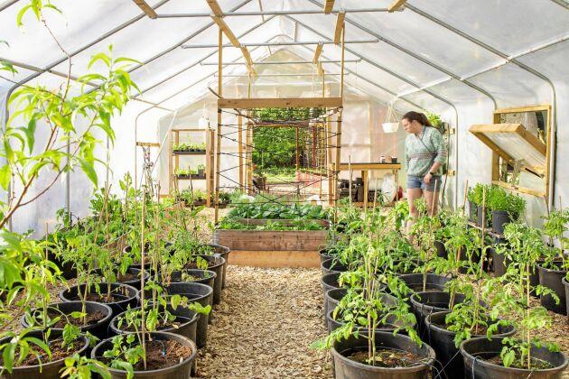 Här syns det vad lite takhöjd kan göra. Stor luftvolym i Gjordnäras tunnelväxthus ger bättre odlingsklimat.