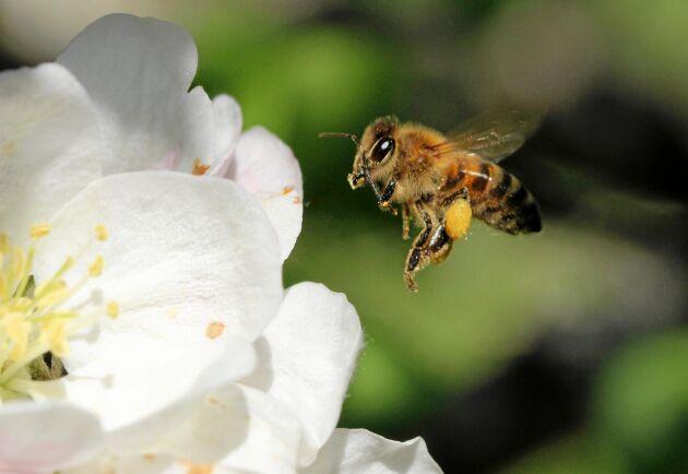 Pollen fastnar i binas päls och följer med till nästa blomma som befruktas.
