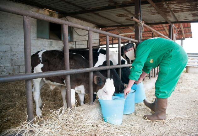 Italiensk mjölkbonde i Cerveteri utanför Rom.