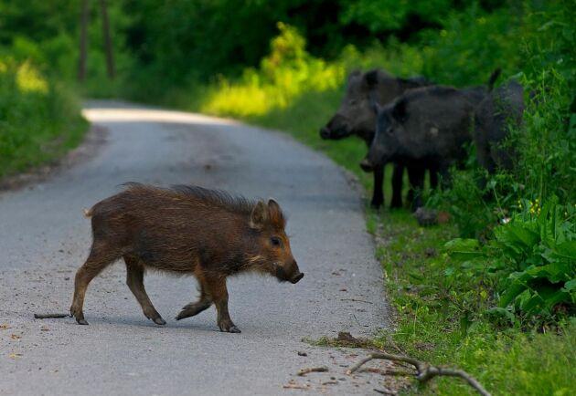Afrikansk svinpest har upptäckts i flera EU-länder, bland annat Belgien, Ungern och Tjeckien har haft ett flertal fall bland vildsvin. Djuren på bilden har inte med artikeln att göra.