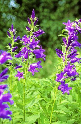 Hässleklocka (Campanula latifolia). Unga blad och skott kan ätas råa eller tillagade. Smakar milt och en aning sött. Blommorna snygga i sallad. Hässleklockan bilder ståtliga ruggar i halvskuggiga till skuggiga lägen och sprider sig villigt med frö i både rabatt och gräsmatta om man inte klipper ner blomställningarna när de börjar vissna. Perfekt växt att plantera in i en vild del av trädgården. Foto: IBL.