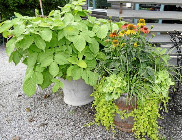 Kruka och tunna med limefärgade växter.