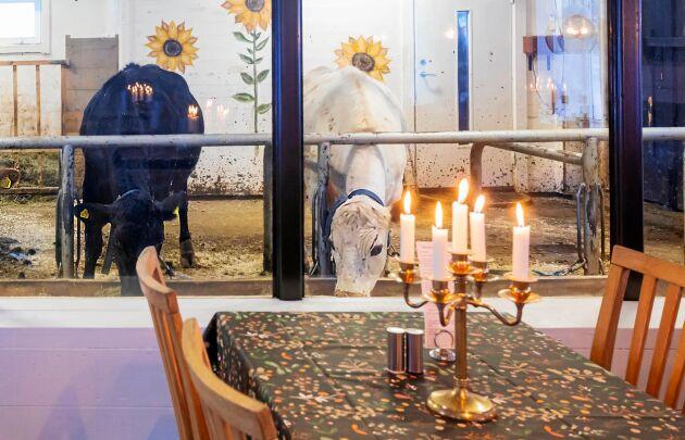 Bara en plexiglasvägg skiljer restaurangens gäster från korna i lagården.