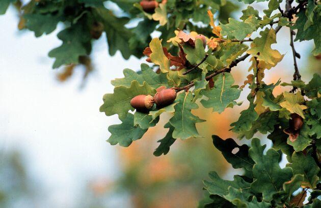 Ekollon är näringsrika och särskilt goda, tycker vildsvinen. I år det ovanligt mycket ollon i Mellansverige.