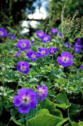 10) Näva, Geranium hybrid, 'Rozanne' lägger sig fint som marktäckare, kan bli 40 centimeter hög och har blommor i blått med vitt öga.