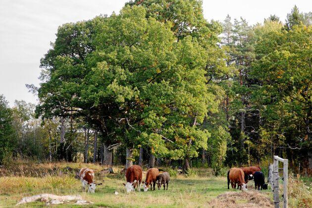 Landskapsvårdarna. Från vänster: Bosse, Vill, Grålla Spritta, Sprö, Spätzle och Bruna håller den gamla ekbacken fri från att växa igen.