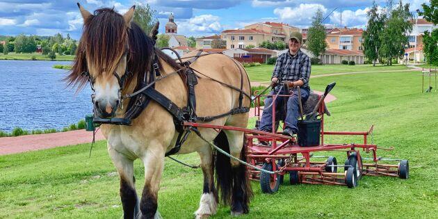 Här vikarierar hästen Blondie som gräsklippare i sommar
