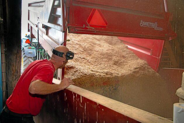 Egen spannmål och åkerböna utgör merparten av kraftfodret. Här är ett lass havre på väg ned i gårdens spannmålsficka.