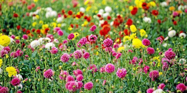 Det våras för svenskodlade blommor