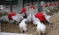 Slaktade 600 000 fjäderfän olagligt – får böta