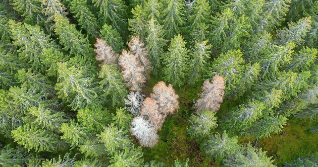 Enligt expertisen går granbarkborren framförallt på gamla och sjuka granar. Skogen som blev kvar efter branden var en helt normal skog, skriver debattören.