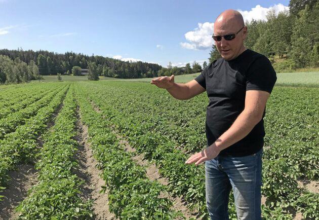 Ekologiska potatisodlaren Niklas Isaksson tittar till en av sina odlingar.