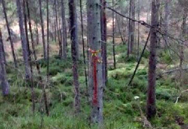 Skogsstyrelsen har snitslat in träd för att markera det område som de anser bör omfattas av restriktioner för att värna en tjäderlekplats i ett angränsande skogsbestånd.