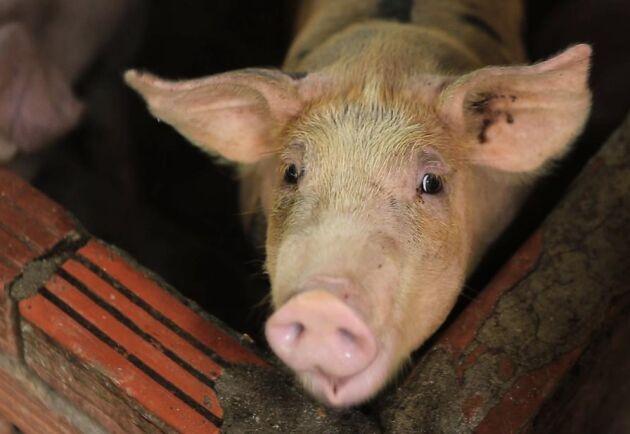 Thailand inför hårdare kontroller för att förebygga afrikansk svinpest efter utbrott i grannländer.