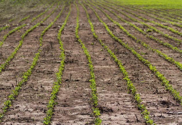 Sojabönsodlingarna i EU har nästan tredubblats under de senaste tio åren.
