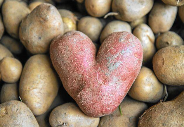 Tjockt skal ger potatisen bra lagringsegenskaper.