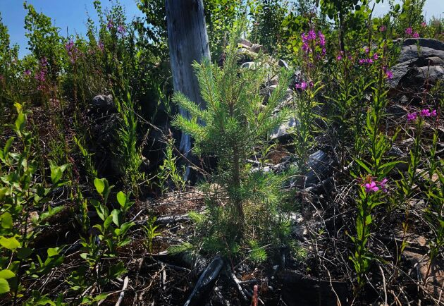 Plantor som betats på blir det inget kvalitetstimmer av. Stora summor går till spillo för både den enskilda skogsägaren som samhället i stort, menar Thomas Claesson.