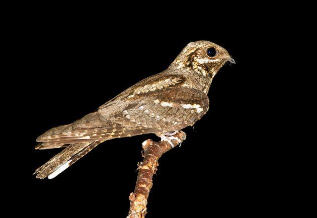 Att se en nattskärra så här fint får inte många vara med om. Den flyger om natten och gömmer sig på dagen.