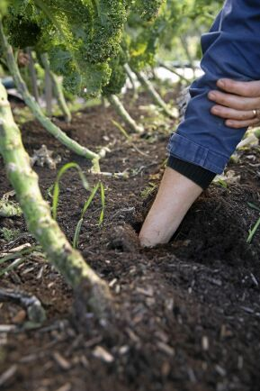 Odlingsbäddarna är näringsrika, djupa och otroligt luckra.