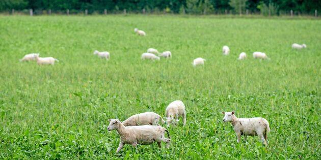Här är skillnaderna mellan ekologiskt och konventionellt lammkött
