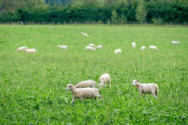 Krav-certifierade ekologiska lamm ska få beta så mycket de vill och de ska gå ute en stor del av året.