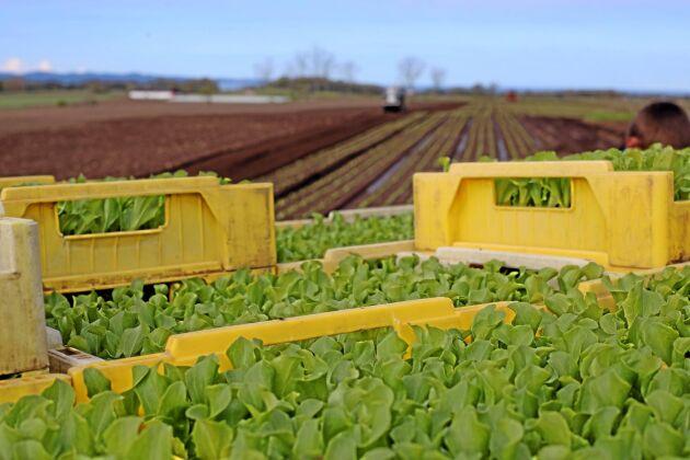 Nya regler har ställt till problem för svenska odlare som är beroende av arbetskraft från utlandet.