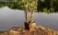 Veckans skogsbild: Trädet som växer i tvättgryta