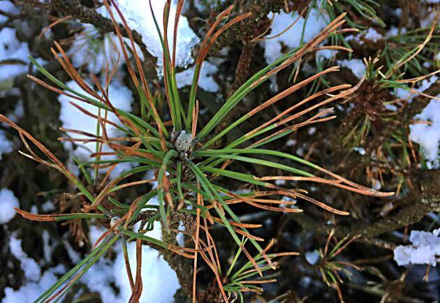 En svampsjukdom som angriper tall har för första gången upptäckts i Sverige och Skandinavien av forskare vid SLU (Sveriges lantbruksuniversitet). Fynden har gjorts på bergtall (Pinus mugo).