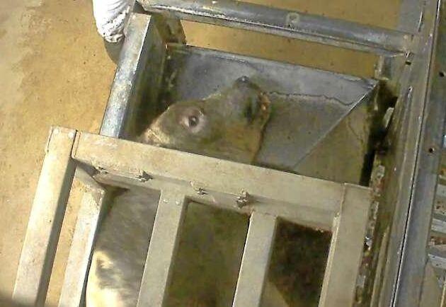 Bild från Animal Rights granskning av slakthuset i Izegem.