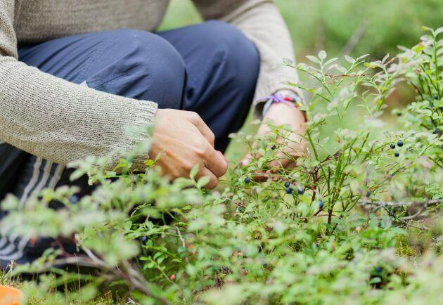 Många skogsägare ser hur kommersiella aktörer utnyttjar deras mark för att plocka bär och svamp, skriver företrädare för MUF Östergötland.