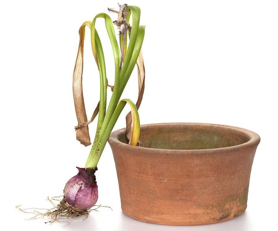 Hyacint lök