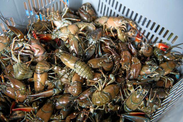 De livliga skaldjuren kryper rasslande runt i lådorna.