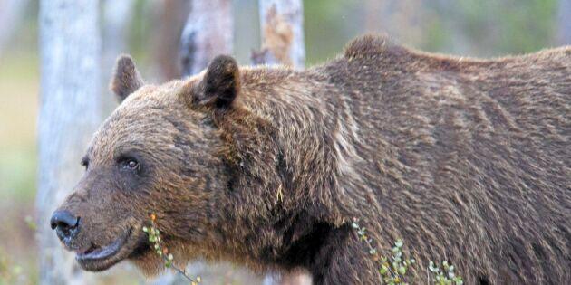 Björnar på tillbakagång