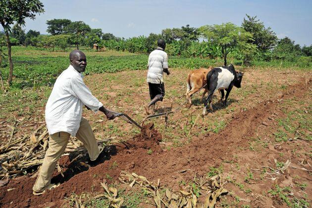 En ny studie visar att det är bättre att satsa på handel och infrastruktur än grödor och jordförbättringar om man vill utrota hunger i Afrika. Bönder i Uganda.