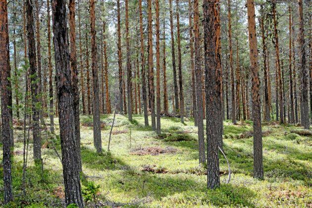 Hur vill skogsägare bli ersatta för den klimatinsats det innebär om vi permanent ökar kolförråden i skogen, undrar debattören.