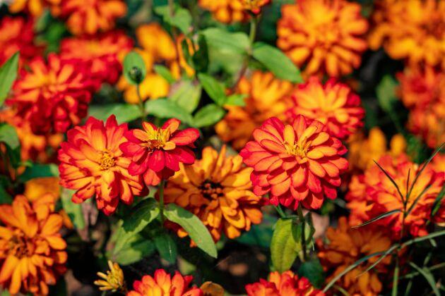 En typisk Marylandzinnia. Just den här heter 'Double Zahara Fire' och har blommor som brinner i brandgult.