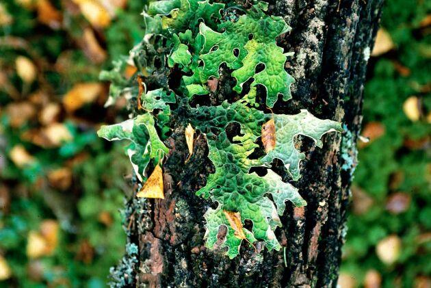 Miljöorganisationer vill ha en ny nyckelbiotopsinventering i Ore Skogsrike.