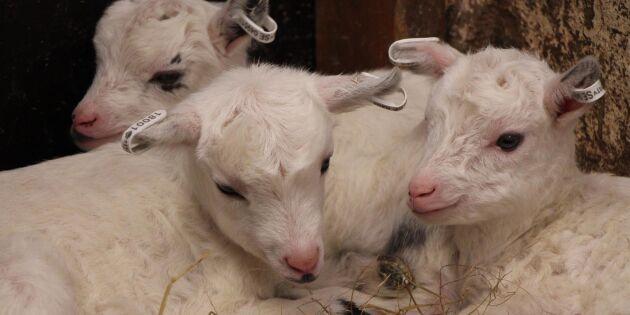 Utrotningshotad get födde trillingar
