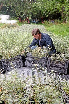 Anders Berg är störst i Sverige med att uppföröka havtornsplantor. Han håller även på med förädling.
