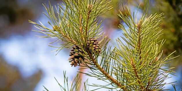 Gott om kott i svenska skogar