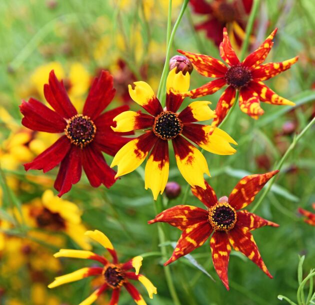 Tigeröga 'Radiata' producerar täta, buskiga plantor översållade av blommor i varmrött och solgult i olika mönster. Tacksam och lättodlad sommarblomma för rabatt, snitt och blomlådor. Förodlas inomhus i april eller så direkt i rabatten i maj-juni. Impecta.