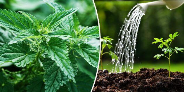 Enkelt, billigt och miljövänligt – så gör och använder du nässelvatten