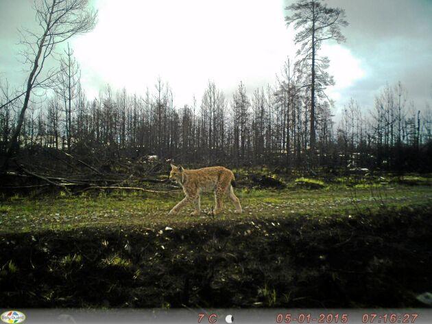 Rörelsestyrda kameror ska försöka fånga lodjur i Östergötland.